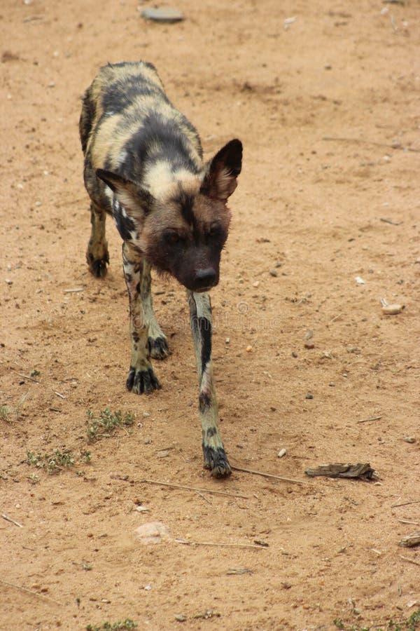 Hyena in Namibië wordt gevangen dat royalty-vrije stock foto's