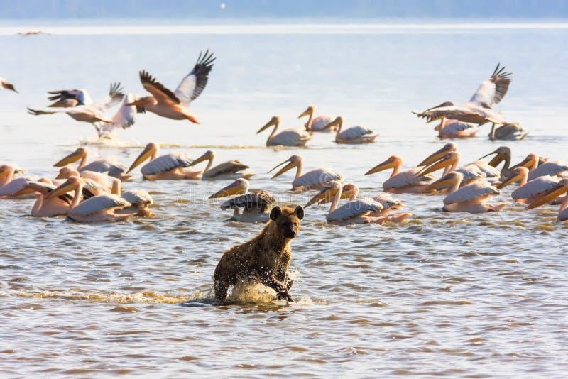 Hyena på kusten av sjön Nakuru arkivfoto