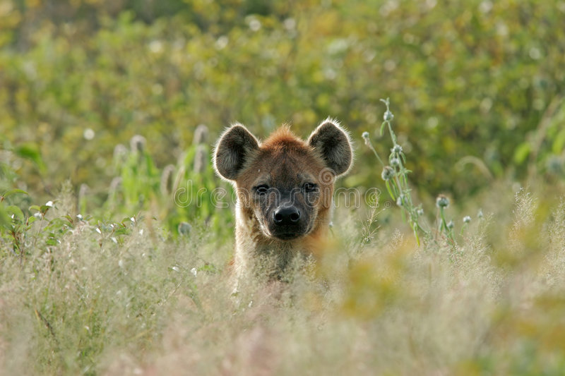 Hyena portrait stock photos
