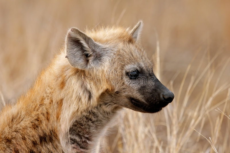 Hyena Portrait Royalty Free Stock Images