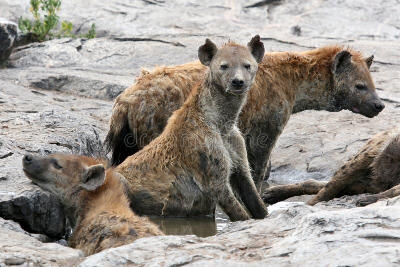 Hyena - Serengeti, Africa stock photography