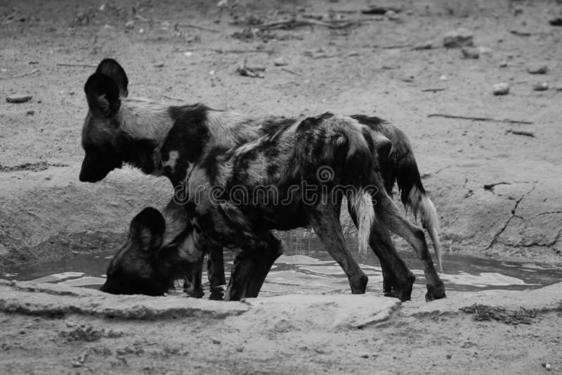 Hyena som fångas i Namibia royaltyfri foto