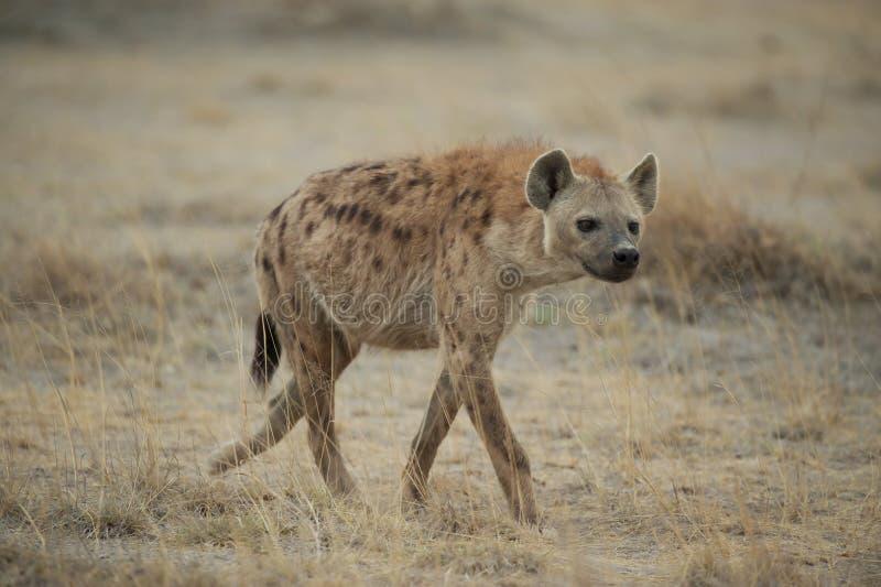 Hyena som går i savannahen arkivbilder