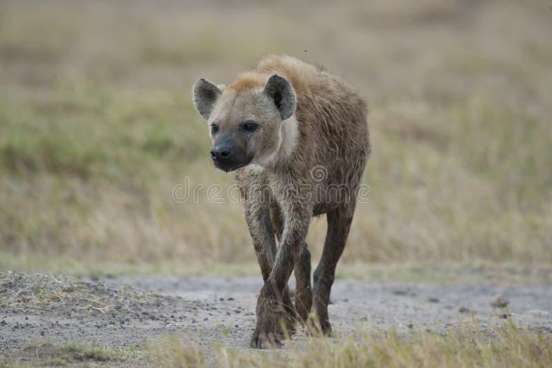 Hyena som går i savannahen royaltyfri foto