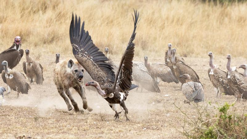 Hyena som jagar gam i väg från ett byte royaltyfria foton