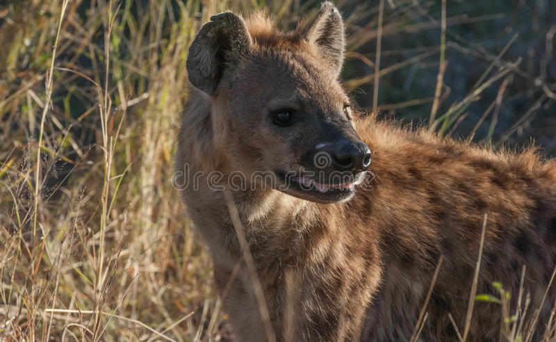Hyena. Spotted Hyena are known as scavengers stock photo