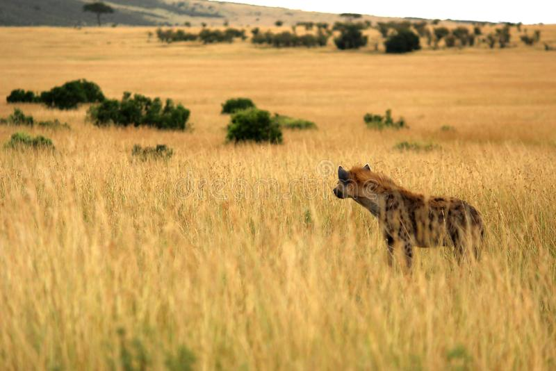 Hyena staring into the distance stock photography