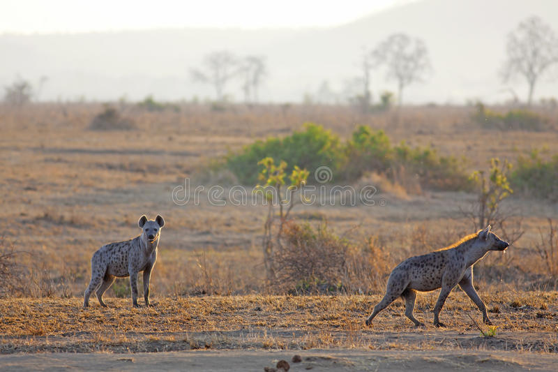 Hyena in sunrise royalty free stock photo