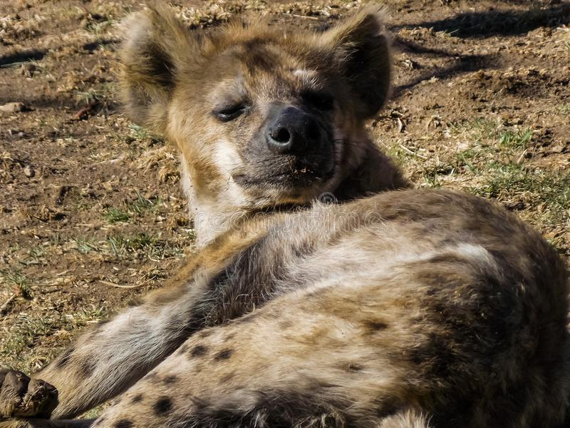 Lazy Hyena in the Sun. Hyena, taking it easy in the afternoon sun. Taken near Denver Colorado.Hyenas or hyaenas from Greek ὕαινα hýaina are royalty free stock photos