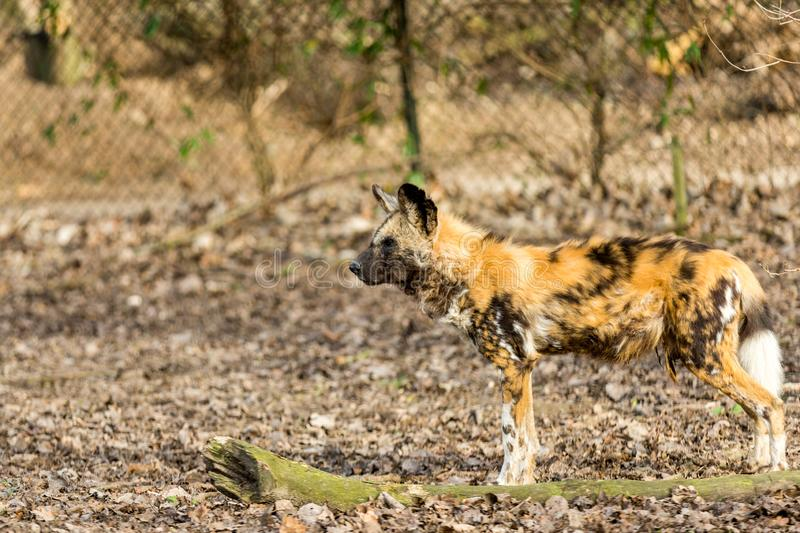 Hyena watching a target in arid terrain with a blurred background. Wonderful sunny day in a nature reserve royalty free stock photography