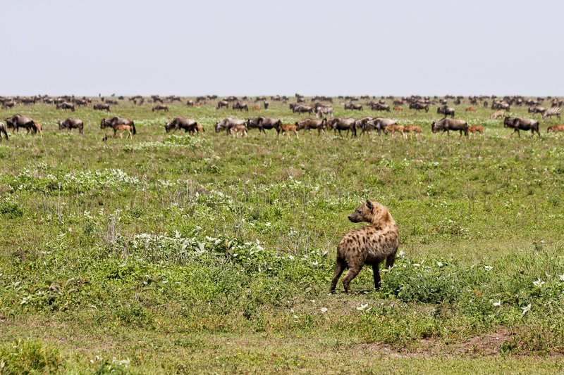 Hyena watching wildebeest stock images