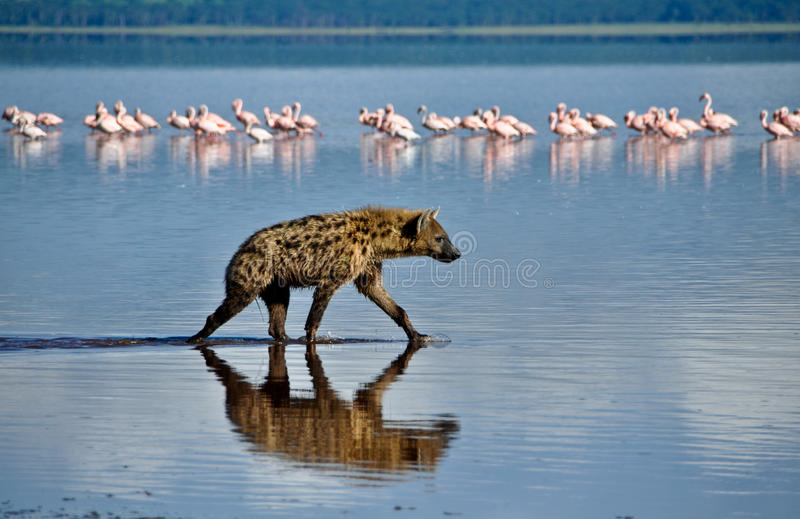 Hyena in the Water. Hyena in Lake Naivasha with Flamingos behind royalty free stock images