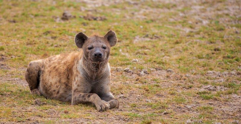 Hyenan är ligga och hålla ögonen på, på safari i Kenya arkivbilder
