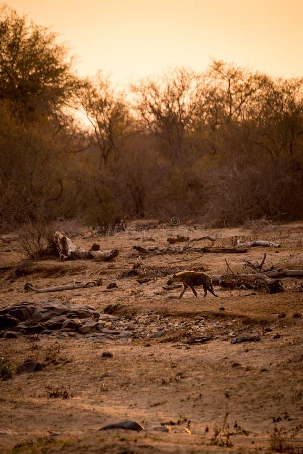 Hyenan som går i savannahen under solnedgång, Kruger parkerar, Sydafrika royaltyfria foton
