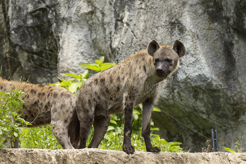 Hyenas. arkivfoto