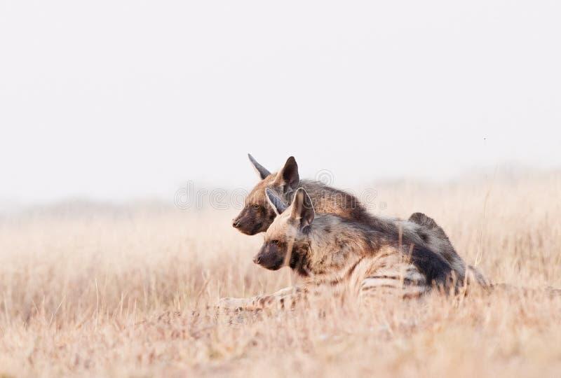 Hyenas imagen de archivo libre de regalías
