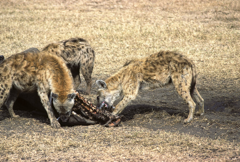 hyenas arkivfoto