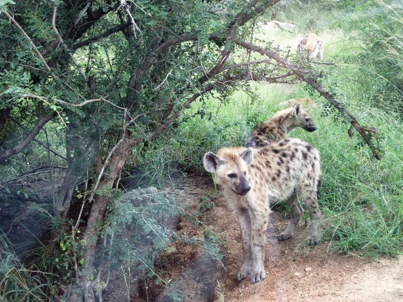 Hyenas in the Bush. Hyenas bush krugerpark naturereserve wild animal background thorntree tour travel southafrica stock image