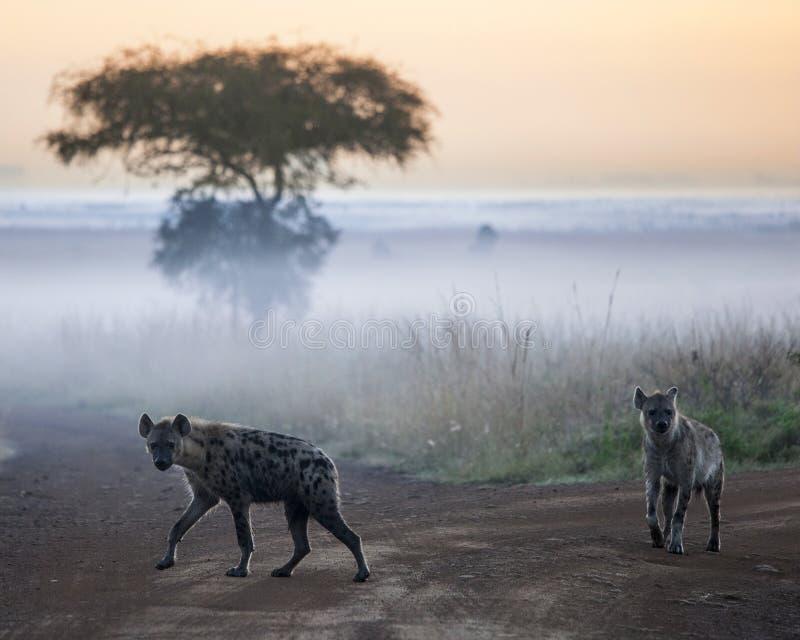 Hyenas before dawn royalty free stock image