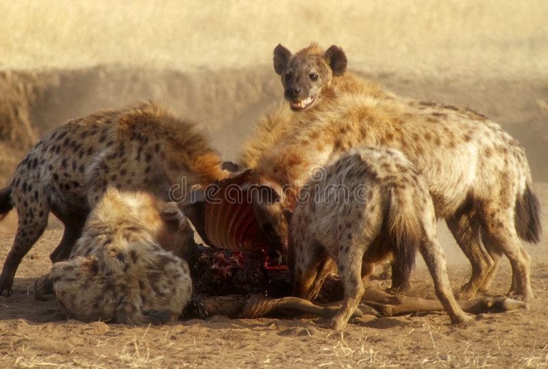 Hyenas Devouring Gnu. Hyenas devouring a gnu after chasing away the lioness that killed it, in Serengeti, Tanzania stock image