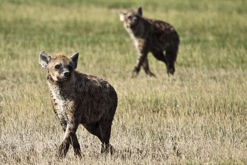 Hyenas i bildande arkivbild