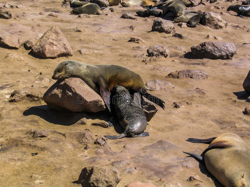 Portrait of baby seal on the beach at Cape Cross in Namibia. royalty free stock photos