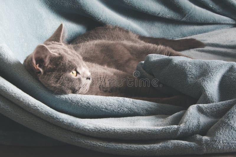 Hygge en comfortabel concept De Britse grijze kat die op comfortabel blauw rusten pled laag in huisbinnenland Sluit omhoog stock foto