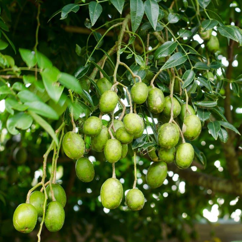 Hygrophilus Kurz do Elaeocarpus fotografia de stock