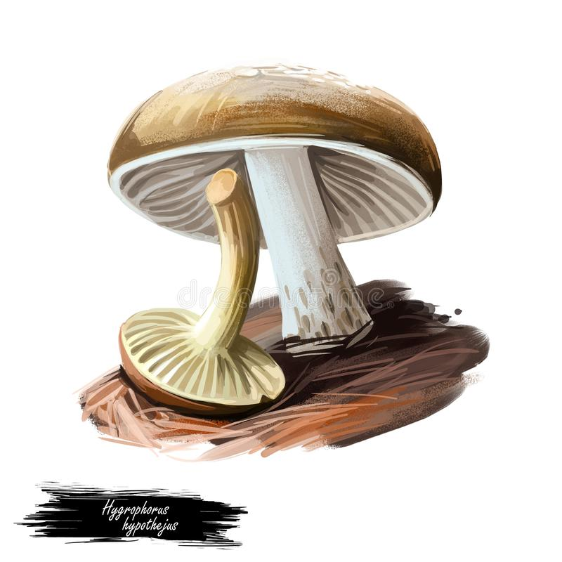 Hygrophorus hypothejus herald of winter, edible species of fungus in genus Hygrophorus native to Europe and North America isolated vector illustration