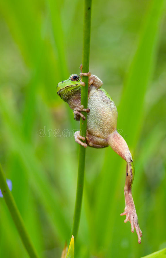 Hyla 1 de grenouille photos stock