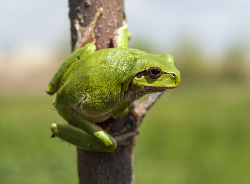 Download Hyla arborea stock image. Image of frog, rare, european - 30521511