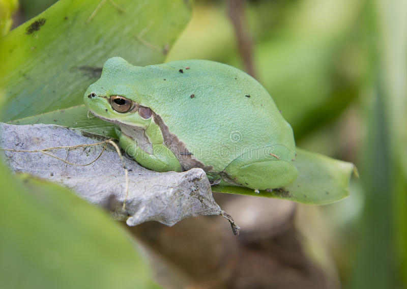 Treefrog fotografie stock