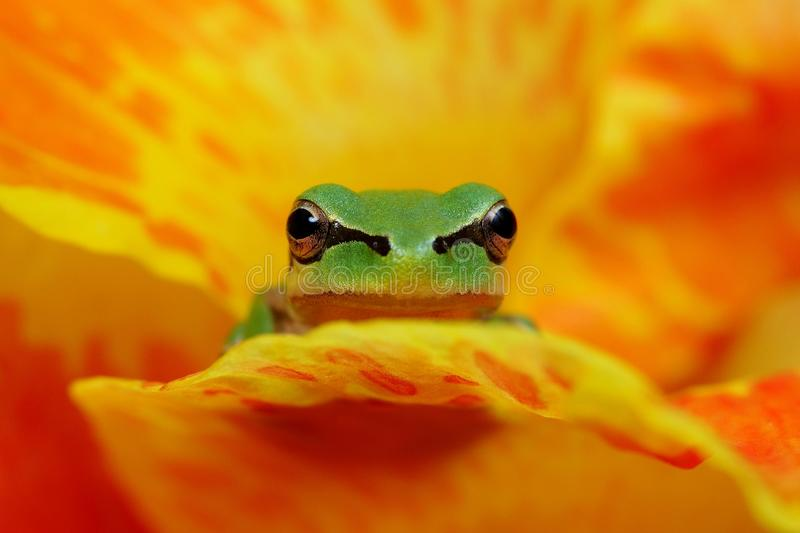 Hyla frog in yelow and orange flower contrast stock photo