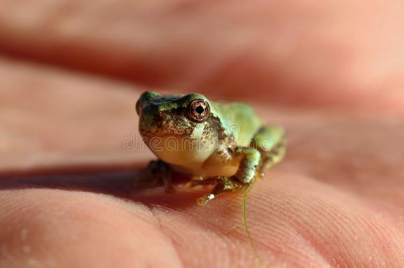 Hyla gris minuscule de treefrog versicolor photo stock