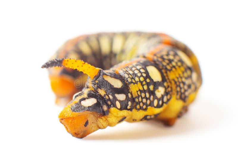 Hyles Euphorbiae 反对白色背景的毛虫 Spurge鹰 天蛾 库存图片