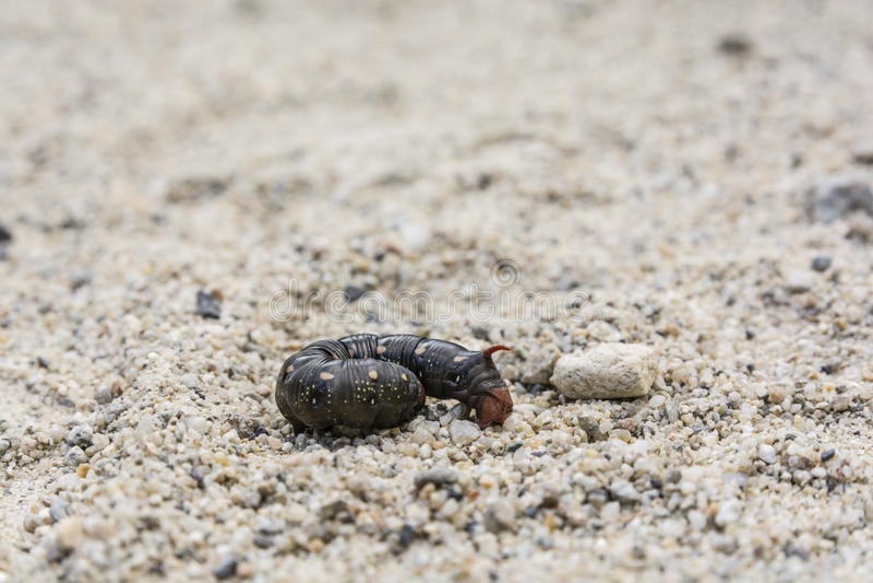 Hyles gallii gąsienica, czarny koloru wariant zdjęcie stock