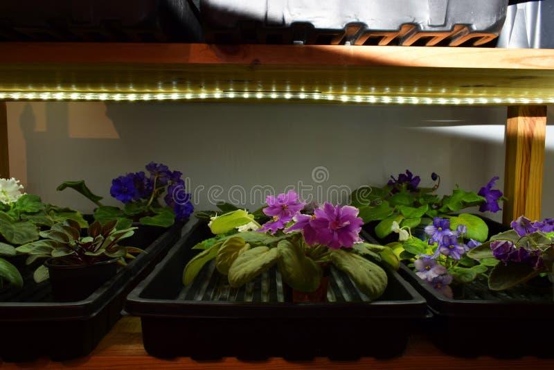 Hyllor med violets royaltyfria foton