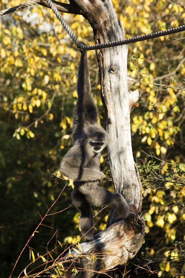 Hylobates moloch gibbon στοκ εικόνες με δικαίωμα ελεύθερης χρήσης