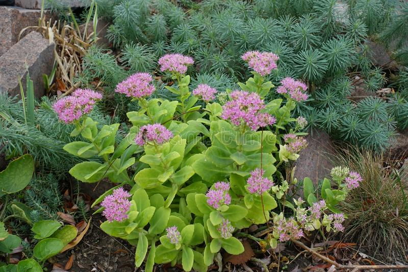 Hylotelephium spectabile en la floración y cyparissias del euforbio en el jardín de piedras fotos de archivo