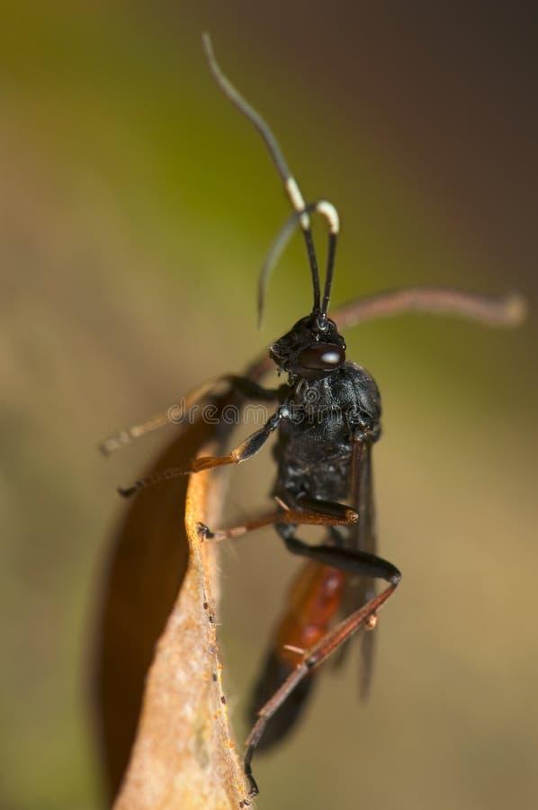 hymenoptera royaltyfria bilder