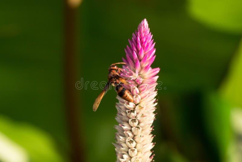 Hymenoptera są na purpurowym kwiacie obrazy royalty free