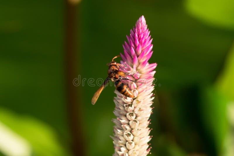 Hymenoptera są na purpurowym kwiacie fotografia stock