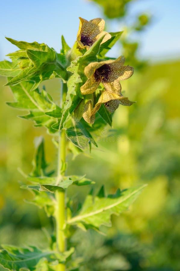 Hyoscyamus substanci toksycznej narcosis zdjęcie royalty free
