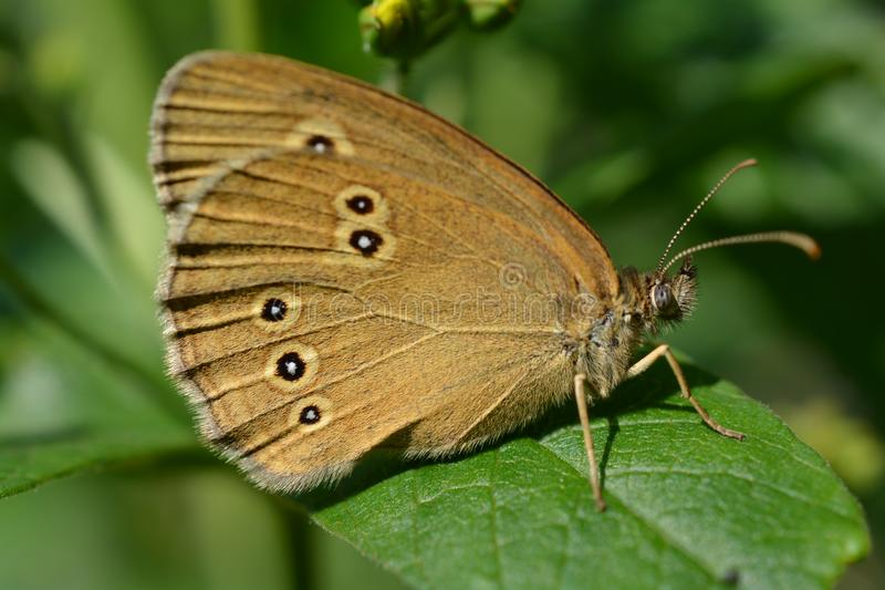 Hyperanthus Aphantopus бабочки Брайна стоковые фотографии rf