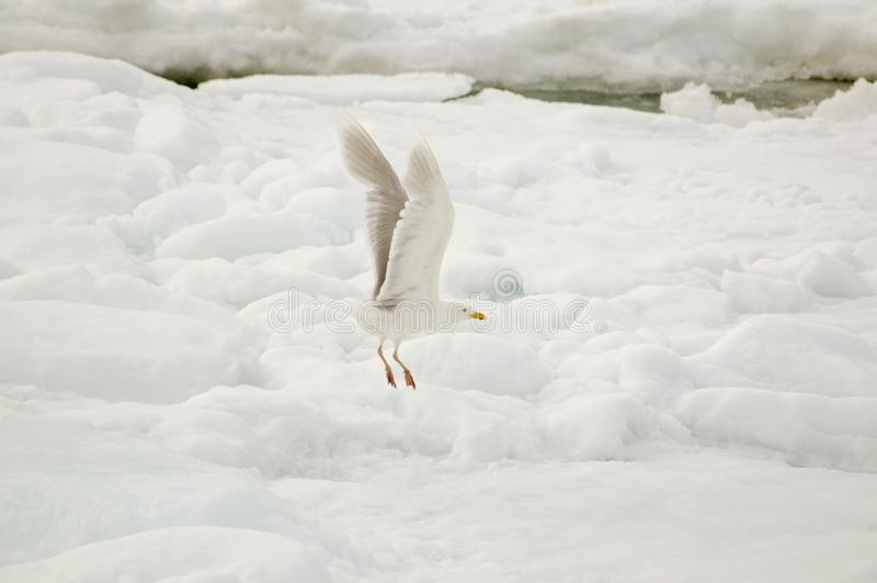 Hyperboreus glauque de Larus de mouette volant au-dessus de la vessie de glace photos libres de droits