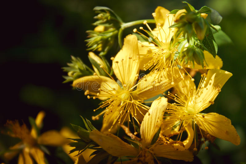 Hypericum. Flowers of a hypericum (St. John's wort stock photo