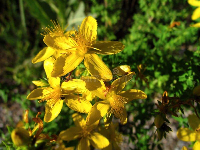 Hypericum perforatum, żółty okwitnięcia zakończenie, ważna lecznicza roślina, antidepressant i skutki, zdjęcia royalty free