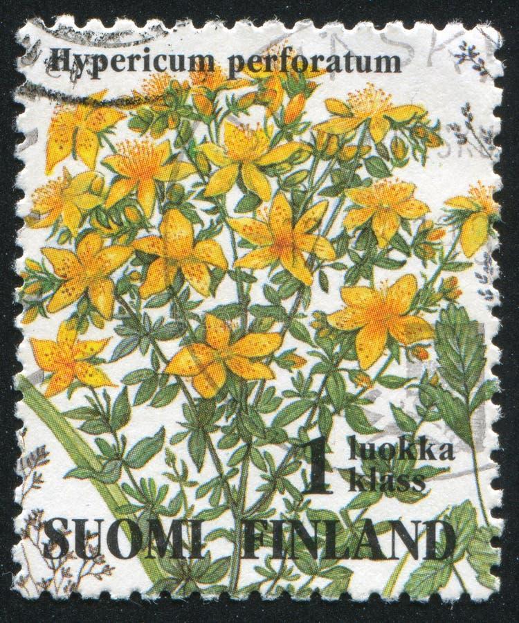 Hypericum perforatum fotografia stock