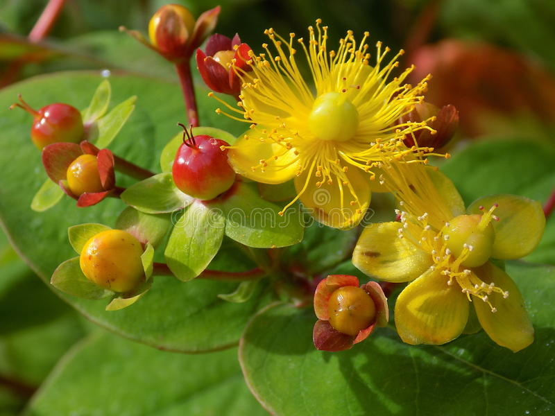 Hypericum - St Johns Wort royalty free stock photography