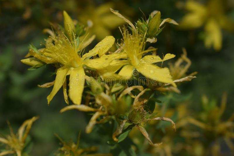 Tutsan hypericum herbal plant blossoming in a field in summer. Hypericum, tutsan, st. john worth on a green background closeup. Bright beautiful yellow flower royalty free stock images
